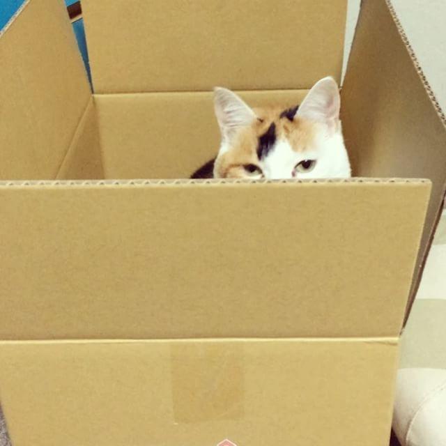 取扱注意のシール貼っとかなくっちゃ!危険すぎる…#お年玉くださいにゃBOX @loveandco_coffee #loveandco_coffee #lovemecoffee #ねこ部 #猫 #cat #catstagram #catsofinstagram #calico #ニャンスタグラム #三毛猫 #ふわもこ部 #あんみつさん