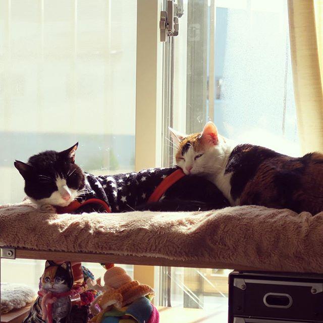 ポカポカでよい元日だにゃ〜♪平和がいちばん!#ねこ部 #猫 #cat #catstagram #catsofinstagram #calico #ニャンスタグラム #ふわもこ部 #ハチワレ部 #三毛猫 #じいにゃん #あんみつさん