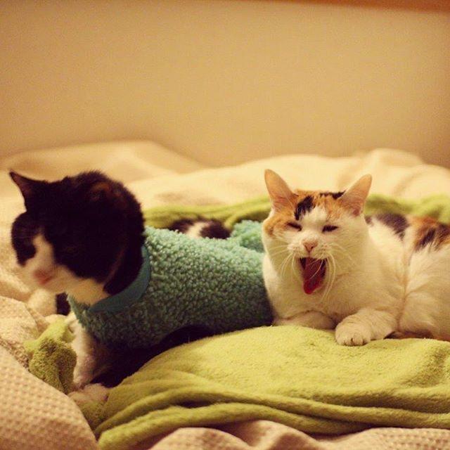 ただいま〜!新年初出勤から帰ってきたら仲良く湯たんぽのうえで待ってて?くれました♪#ねこ部 #猫 #cat #catstagram #catsofinstagram #calico #ニャンスタグラム #ふわもこ部 #ハチワレ部 #三毛猫 #じいにゃん #あんみつさん